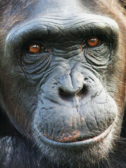 "Kiki is a chimpanzee at Tchimpounga Chimpanzee Sanctuary in the Republic of Congo. A new study of chimpanzees and bonobos finds that humans aren't the only species susceptible to ""glass half empty"" thinking. Photo by Alexandra Rosati, Duke University."