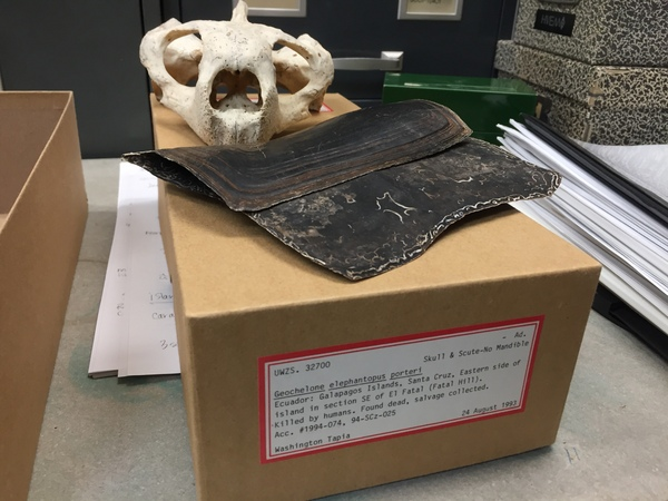 The skull and scutes of a newly-identified species of Galapagos giant tortoise in the UW-Madison Zoological Museum. The tortoise, which was hiding in plain sight on the Galapagos island of Santa Cruz, was identified by a group from Yale University. The UW-Madison specimen was acquired by the museum in 1991. Photo: Kelly Tyrrell