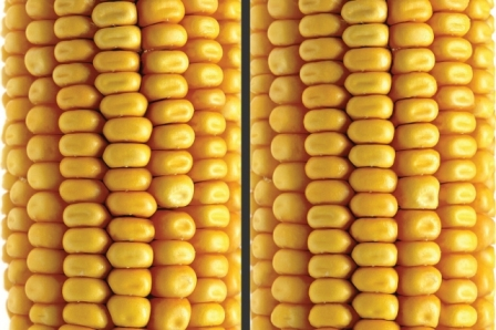 An example of the Non-Local Variations algorithm that automatically detects and visualizes small deformations between repeating structures in a single image. On the left is the original image. In the right image, the variability in the shape of the corn's kernels is reduced, and the misalignment of rows is corrected. Courtesy of Giandomenico Pozz and the researchers