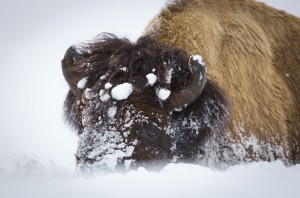 Bison in the snow at Yellowstone National Park. Photo by Neal Herbert, National Park Service.