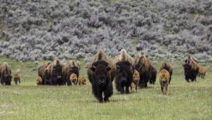 Bison herd on the move. Photo by Neal Herbert, National Park Service.