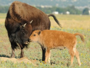 A bison and calf at Rocky Mountain Aresenal National Wildlife Refuge in Colorado. Photo by Rich Keen, DPRA.