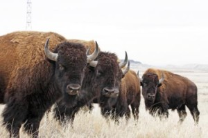 Bison at Rocky Mountain Arsenal National Wildlife Refuge in Colorado. Photo by Jim Carr, U.S. Fish and Wildlife Service.
