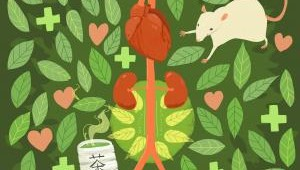 Abdominal aortic aneurysm develops less frequently in rats that drank green tea polyphenol, a major component of green tea. Source: Kyoto University