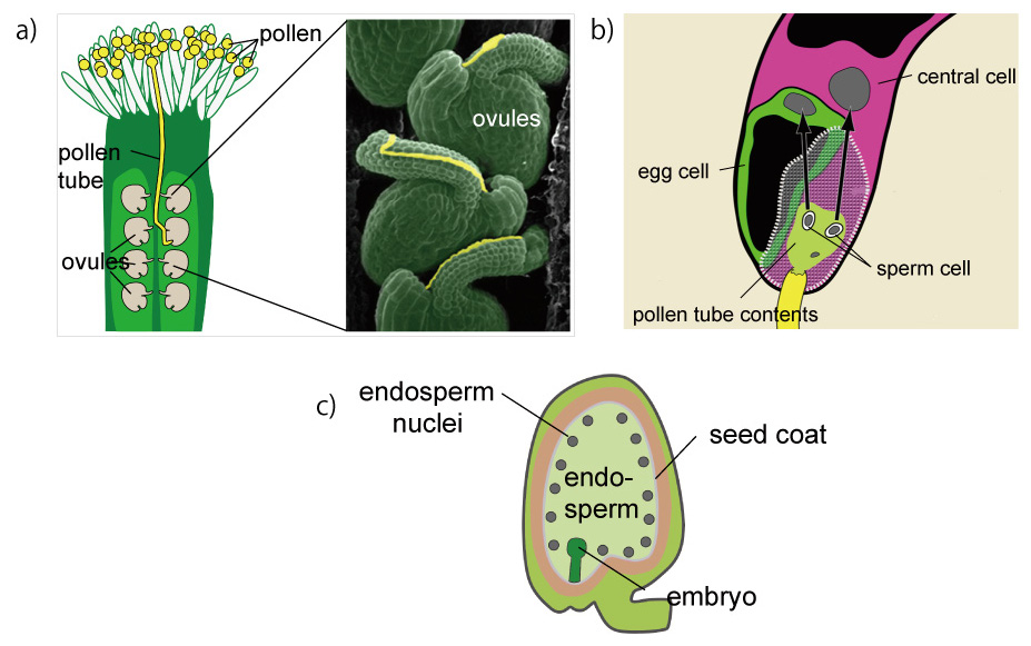 a) Growth of pollen tube towards the ovule. Sperm cells exist at the tip of the tube. Pollen tube contents (PTC) are the liquid part of the pollen tube, shown in yellow. b) Upon pollination to the pistil, the pollen tube grows from pollen towards the ovule. Once the pollen tube reaches the ovule, the tube bursts releasing PTCs and two sperm cells that can fertilize the egg cell and the central cell. Yellow lines on the ovule after fertilization (seed) in figure 1. a) show the pathway taken by the pollen tube. c) A seed after fertilization. After fertilization, the egg cell and central cell develop into the embryo and the endosperm, respectively. Simultaneously, the ovule develops a seed coat. Copyright : ITbM, Nagoya University